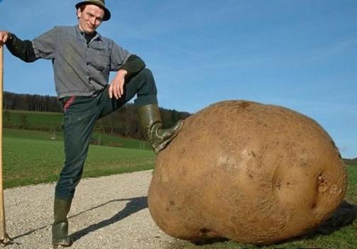 Dünyanın en büyük patatesi