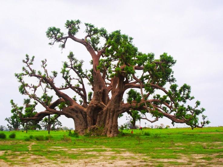 İroko ağacı